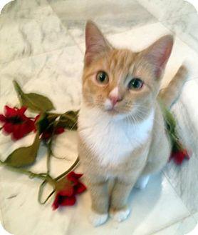 Domestic Mediumhair Cat for adoption in Alvin, Texas - Kaydee