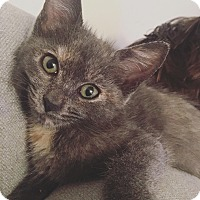 Domestic Shorthair Kitten for adoption in beverly hills, California - Luna