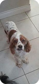 Cocker Spaniel/King Charles Spaniel Mix Dog for adoption in Englewood, Colorado - Lady