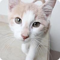 Adopt A Pet :: Kit C160402: PENDING ADOPTION - Edina, MN