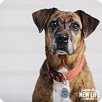 Adopt A Pet :: Avalon - Portland, OR