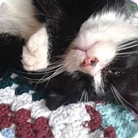 Adopt A Pet :: Timothy Boots - Hanover, ON