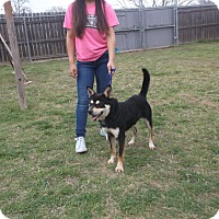 Adopt A Pet :: Sam - San Antonio, TX