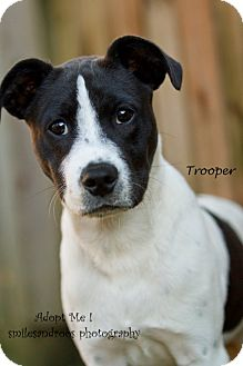Labrador Retriever/Hound (Unknown Type) Mix Puppy for adoption in Charlemont, Massachusetts - Trooper
