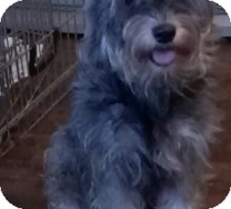 Schnauzer (Miniature) Dog for adoption in St. Petersburg, Florida - Sophie