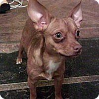 Adopt A Pet :: Caesar - Brooklyn, NY