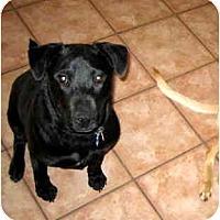 Adopt A Pet :: Indie - Scottsdale, AZ