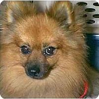 Adopt A Pet :: COCO - dewey, AZ