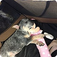 Adopt A Pet :: Gilligan - Phoenix, AZ