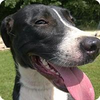 Labrador Retriever/Hound (Unknown Type) Mix Dog for adoption in Jackson, Tennessee - Joan Jett