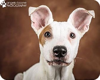 Jack Russell Terrier/American Pit Bull Terrier Mix Dog for adoption in Lakeville, Minnesota - Tyler