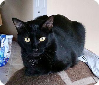 Domestic Shorthair Cat for adoption in Saanichton, British Columbia - Jane