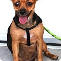 Adopt A Pet :: Raza - Gilbert, AZ