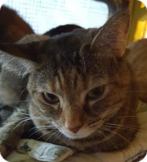 Domestic Shorthair Cat for adoption in New Bedford, Massachusetts - Peanut Butter