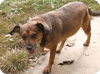 Cinderella | Adopted Dog | Georgetown, KY | Dachshund ...