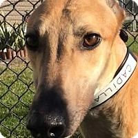 Greyhound Dog for adoption in Longwood, Florida - PJ Cadillac Sky