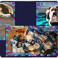 Adopt A Pet :: Simon - Lowell, IN