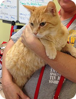 Domestic Shorthair Cat for adoption in Newburgh, Indiana - Osiris