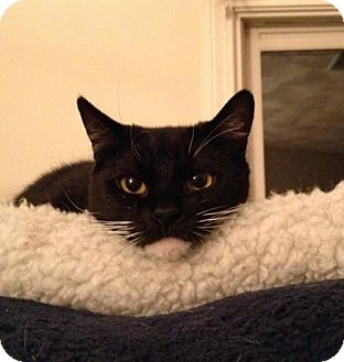 Domestic Shorthair Cat for adoption in Wakefield, Massachusetts - Speckles
