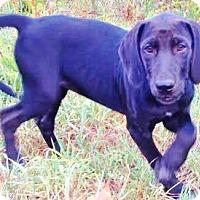 Adopt A Pet :: Dory, baby lab-hound beauty! - Snohomish, WA