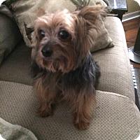 Adopt A Pet :: Smokey - The Villages, FL