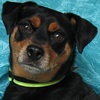 Miniature Pinscher Mix Dog for adoption in Cuba, New York - Dash