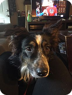 Australian Shepherd Mix Dog for adoption in Parker, Kansas - Griffen