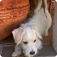 Adopt A Pet :: Maurice - Phoenix, AZ
