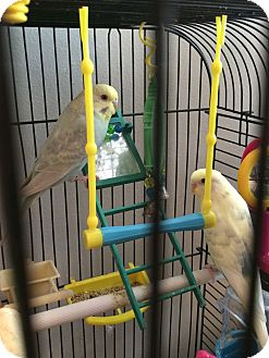 Parrot - Other for adoption in staten Island, New York - Sunny (male) and Blick (female