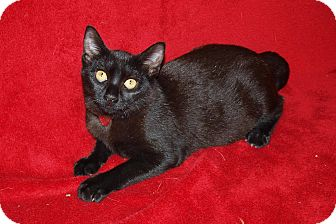 Domestic Shorthair Cat for adoption in Jackson, Mississippi - Onyx