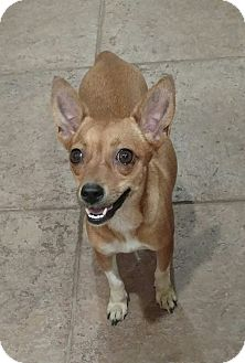Chihuahua/Toy Fox Terrier Mix Dog for adoption in Mary Esther, Florida - Bambi