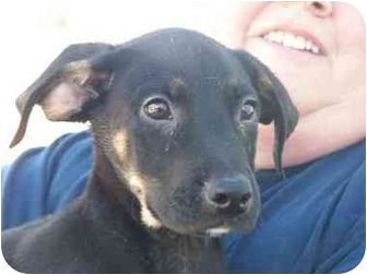 Shepherd (Unknown Type) Mix Puppy for adoption in Mesa, Arizona - Brother