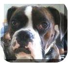 Boxer Dog for adoption in Sunderland, Massachusetts - Captain