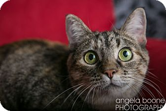 Domestic Shorthair Cat for adoption in Eagan, Minnesota - Clementine