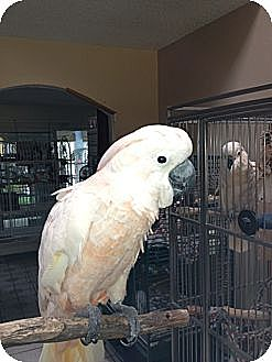 Cockatoo for adoption in Fountain Valley, California - AJ