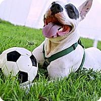 Adopt A Pet :: LULU - Colleyville, TX