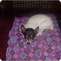 Adopt A Pet :: Rat Terrier - Neutered - Alliance, OH