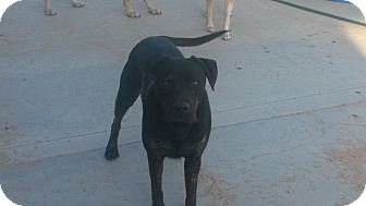 Labrador Retriever/Pit Bull Terrier Mix Dog for adoption in Landers, California - Doc