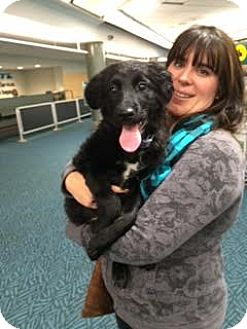 Vancouver, BC - Flat-Coated Retriever/Spaniel (Unknown ...  Vancouver, BC -...