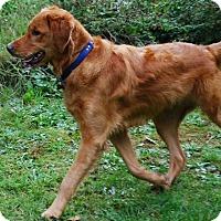 Adopt A Pet :: Beau - Gig Harbor, WA