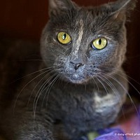 Adopt A Pet :: Honey - Tucson, AZ
