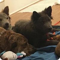 Adopt A Pet :: Balon - Dix Hills, NY