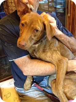 Vizsla/Labrador Retriever Mix Dog for adoption in North Creek, New York - Penny - Sweet and Friendly!!