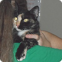 American Shorthair Cat for adoption in Pensacola, Florida - Thelma