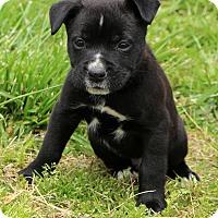 Adopt A Pet :: Sheldon~adopted! - Glastonbury, CT