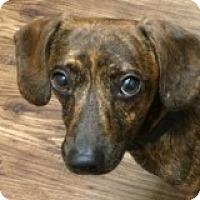 Adopt A Pet :: Oakley Eagle - Houston, TX