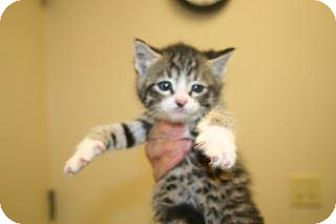 Domestic Shorthair Kitten for adoption in Wildomar, California - Evan