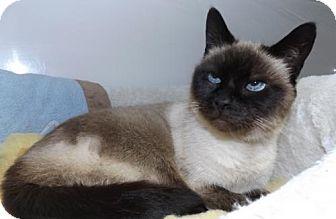 Siamese Cat for adoption in Orleans, Vermont - Sumi