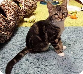 Domestic Shorthair Kitten for adoption in Jeannette, Pennsylvania - Brynn