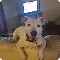 American Bulldog Mix Dog for adoption in Port Charlotte, Florida - Oralee